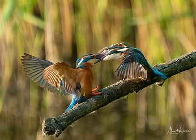 Kingfisher (adult male and juvenile)