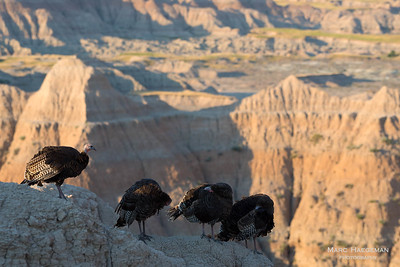 Wild turkey in the South Dakota Badlands