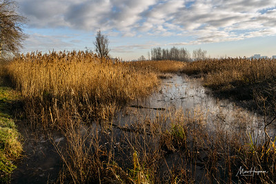 Reeds and ice