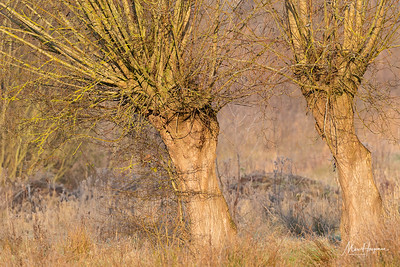 Knotted willows in morning light