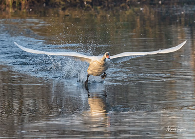 Mute swan on the runway