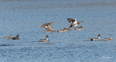 Gadwalls and Pintails