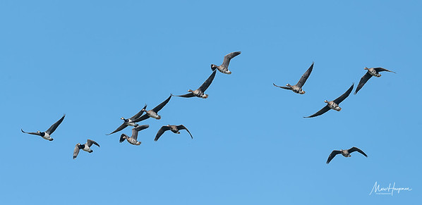 Barnacle and White-fronted geese