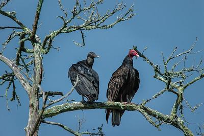 Black Vulture and Turkey Vulture
