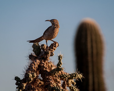 Curve-billed Thrasher on Cholla #2