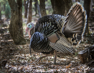 Wild Turkey Displaying