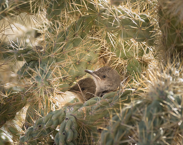 Thrasher Nest in Cholla
