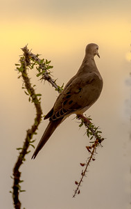 White-winged Dove on Ocotillo #2