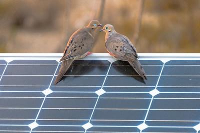 Dove Love On A Solar Panel #1