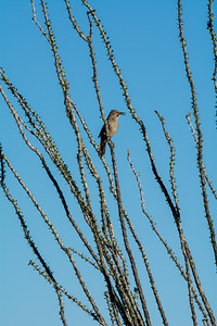 Curve-billed Thrasher on Ocotillo #2