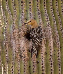 Gila Woodpecker and Nest Hole #3