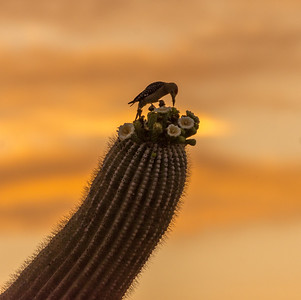 Gila Woodpecker on Saguaro Flowers