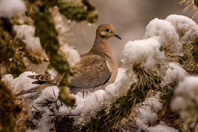 Dove and Snow