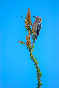 Gila Woodpecker on Flowering Ocotillo