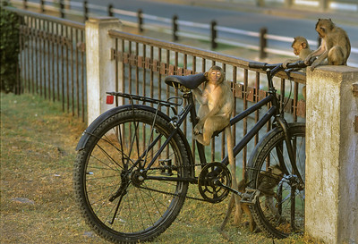 Macaque Monkey and Bicycle
