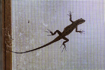 Earless Lizard on Screen