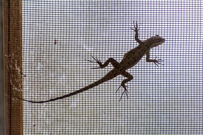 Earless Lizard on Screen