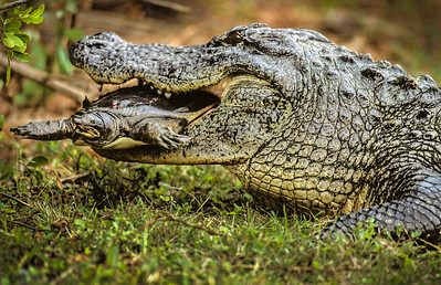 American Alligator Catches Soft Shell Turtle