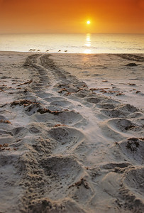 Loggerhead Sea Turtle Tracks and Ibis