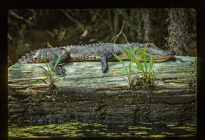 American Alligator with Missing Foot