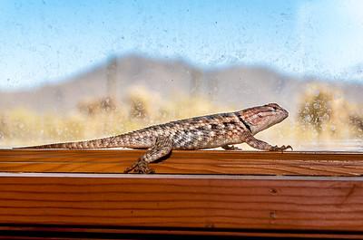 Desert Spiny Lizard and Dirty Window