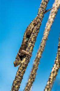 BR - Desert Spiny Lizard on Ocotillo #1