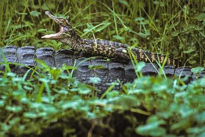 Baby Alligator on Mom's Back