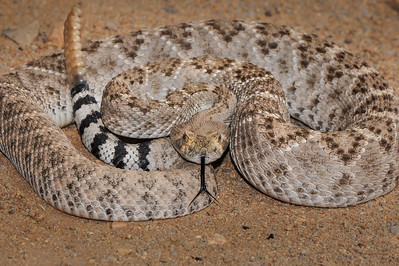 Western Diamond Back Rattlesnake