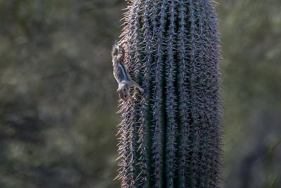 Harris's antelope squirrel climbing Saguaro Cactus #1