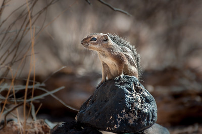 Harris's Antelope Squirrel #2