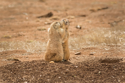 Las Cienegas Prairie Dogs #2