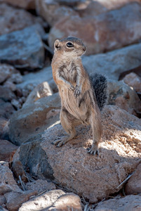 Harris's Antelope Squirrel  #1