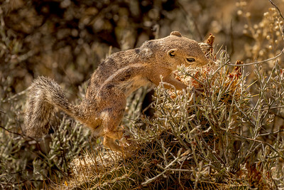 Harris Antelope Squirrel and Cholla Cactus #2