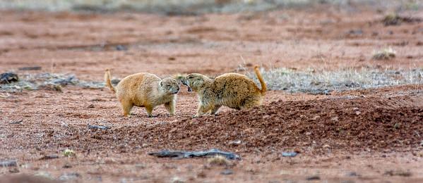 Las Cienegas Prairie Dogs #1
