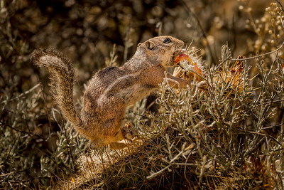 Harris Antelope Squirrel and Cholla Cactus #4