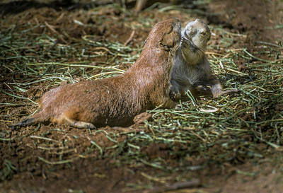 Black-tailed Prairie Dog  Mother and Pup #2