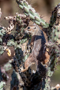 Harris Antelope Squirrel and Cholla Cactus #7