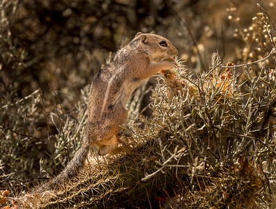 Harris Antelope Squirrel and Cholla Cactus #5