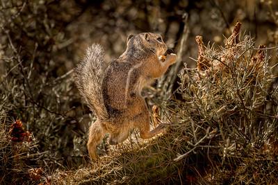 Harris Antelope Squirrel and Cholla Cactus #1