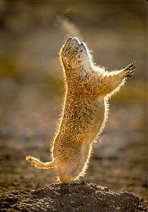 Black-tailed Prairie Dog Jump-yip