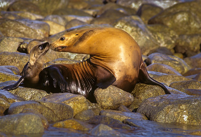 California Sea Lion  Cow and Calf