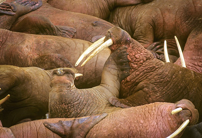 Walrus Competete for beach space.
