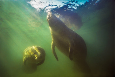 Manatee Takes a Breath