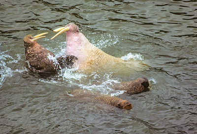 Walrus Fighting