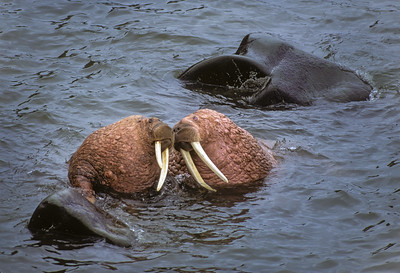 Walrus Touching Noses