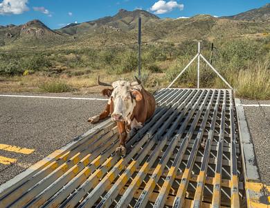 Cow Stuck in Cattleguard #1
