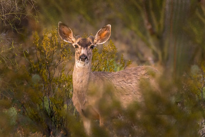 Mule Deer in Desert #3