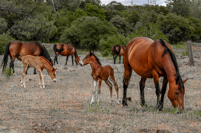 Newborn Wild Horse Foal Looks At Other Foal In Band