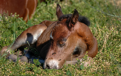 Newborn Wild Horse Foal with Flies on Face #2