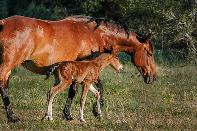 Newborn Wild Horse Foal and Mother #5